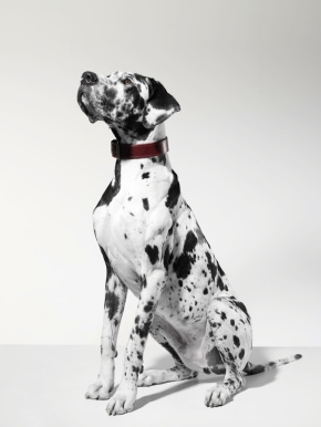 Great Dane, portrait