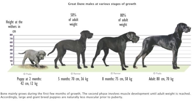 great dane growth