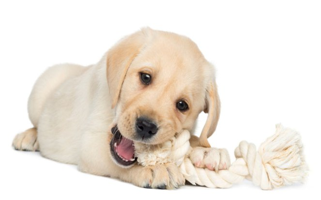 puppy teething and chewing